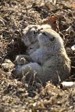 Two gophers mating Royalty Free Stock Photo