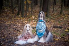 Free Two Gorgeous Afghan Hounds In Beautiful Shawls Stock Photography - 130149072