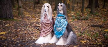 Free Two Gorgeous Afghan Hounds In Beautiful Shawls Royalty Free Stock Images - 148691239
