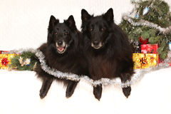 Two gorgeous black dogs with christmas decorations Royalty Free Stock Photography