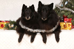 Two gorgeous black dogs with christmas decorations Stock Photos