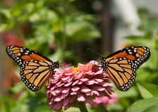 Two gorgeous, colorful Monarch butterflies Royalty Free Stock Photo