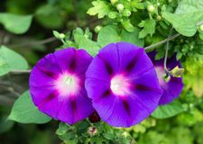 Two gorgeous flowers morning-glory, close-up, ipomoea, convolvulus flower. Two gorgeous flowers morning-glory, close-up, ipomoea stock image