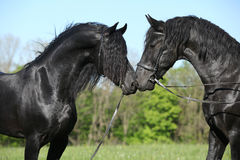 Two gorgeous friesian stallions meeting each other Stock Images