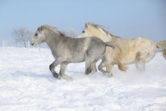 Two gorgeous ponnies running together in winter Royalty Free Stock Image