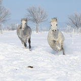 Two gorgeous ponnies running together in winter Royalty Free Stock Photography