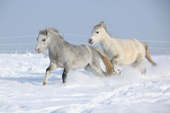 Two gorgeous ponnies running together in winter Stock Photos