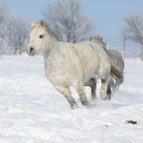 Two gorgeous ponnies running together in winter Stock Photo