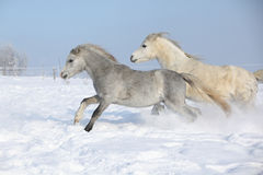 Two gorgeous ponnies running together in winter Stock Image
