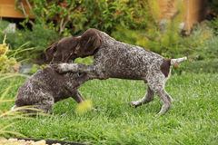 Two gorgeous puppies playing in the garden Stock Photos