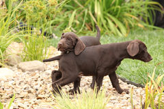 Two gorgeous puppies playing in the garden Royalty Free Stock Photo