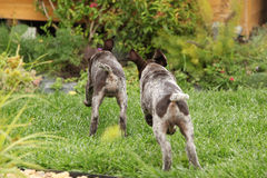 Two gorgeous puppies running in the garden Stock Photography