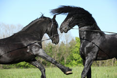 Two gorgeous stallions fighting Royalty Free Stock Image
