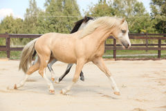 Two gorgeous stallions running together. On sand Stock Image