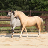 Two gorgeous stallions running together Royalty Free Stock Photography