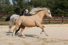 Two gorgeous stallions running together Stock Images