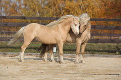 Two gorgeous welsh pony stallions playing together Royalty Free Stock Photography