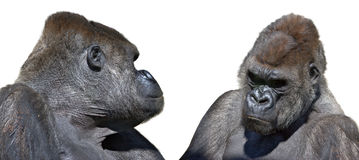 Two gorilla looking face to face Royalty Free Stock Images