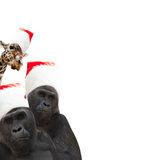 Two gorillas and giraffe Royalty Free Stock Image