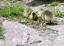 Two goslings Stock Image