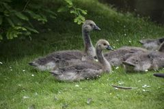 Two Goslings aka baby geese in the grass. Two Goslings aka baby geese sitting in the grass royalty free stock image