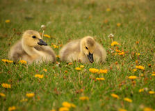Two Goslings Stock Photos