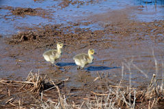 Two goslings Royalty Free Stock Photo