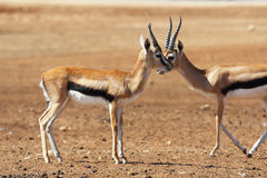 Two graceful gazelle Thomson Royalty Free Stock Photography