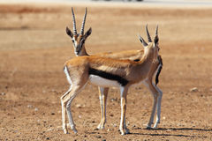Two graceful gazelle Thomson is going to meet Stock Images