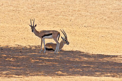 Two graceful gazelle Thomson resting Royalty Free Stock Photos