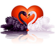 Two graceful swans in love. Couple of black and white swans in love Stock Images