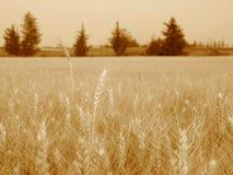Two grain stalks Royalty Free Stock Photos