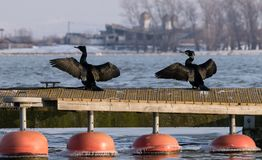 Two Grand Cormorants sit in the sun on a pontoon. On Danube River,Romania Royalty Free Stock Image