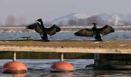 Two Grand Cormorants sit in the sun on a pontoon. In winter season.Danube river Stock Image