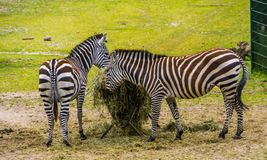 Two grants zebras eating hay from the crib, animal feeding, near threatened mammal species from the plains of Africa. Grants zebras eating hay from the crib stock image