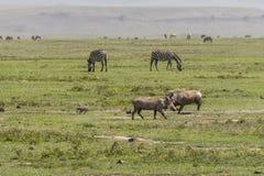 Zebrasand Wahrdogs Ngorongoro Crater, Tanzania. Two Grant`s Zebras, and wahrdogs in Ngorongoro Crater, Ngorongoro Conservation Area, Tanzania stock images