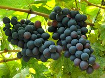 Two grape clusters Royalty Free Stock Image