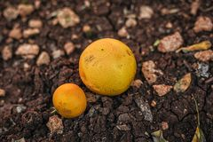 Two grape-fruits on the ground stock images