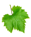 Two grape leaves Royalty Free Stock Images