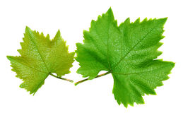 Two grape leaves Stock Photography