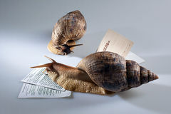 Two grape snails crawling on documents Stock Photos