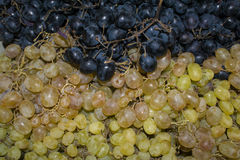 The two grape varieties. Black and green color Stock Images