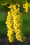Two grapes. Grapes on a winery at Bucks county, PA Stock Photo