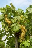 Two grapes Royalty Free Stock Image