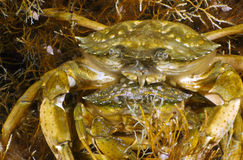 Two Grass Crabs Royalty Free Stock Photography