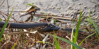 Two grass snake Natrix Natrix fighting for caught fish. Royalty Free Stock Image