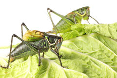 Two Grasshopper Stock Photography