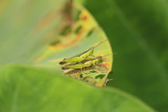Two grasshopper copulate on green leaf Stock Photo