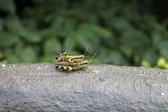Two grasshopper Royalty Free Stock Photos