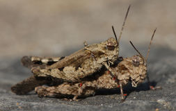 Two grasshoppers Royalty Free Stock Photography